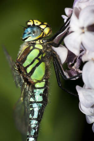 migrant: Close up of a migrant hawker dragonfly perched on lilac flowers