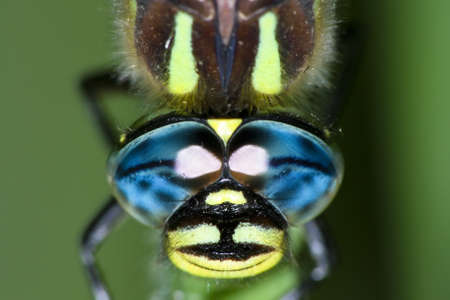 Close up of the blue eyes of a dragonfly