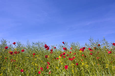 poppy flower: Wild poppies growing alongside a canola field set against a beautiful blue sky