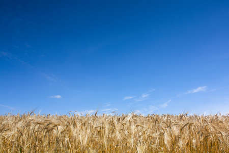 profiled: Golden wheat profiled against a vibrant blue sky