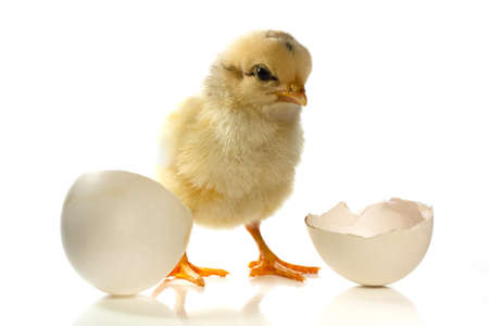 Newly born fluffy chick with an open egg shell photo