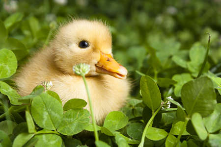 Baby duckling in a field of clover Stock Photo - 9865018