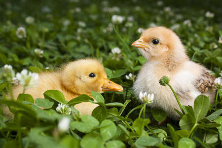 Baby Chick and duckling in a field of clover Stock Photo - 9865019