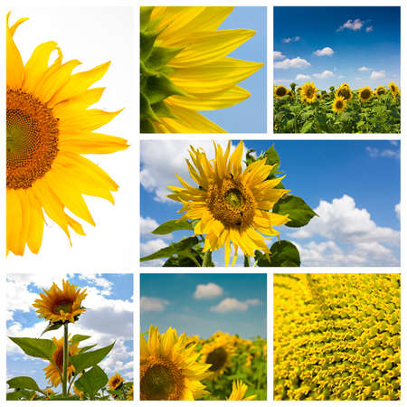 Montage or collage featuring 7 high resolution images of sunflowers