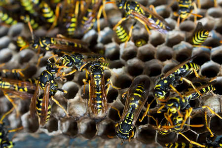 paper wasp: Nest of paper wasps in close up busy making nest
