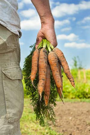 agricultor: Imagen parcial de un granjero masculino  jardinero recogiendo la cosecha de zanahoria en un d�a de verano Foto de archivo