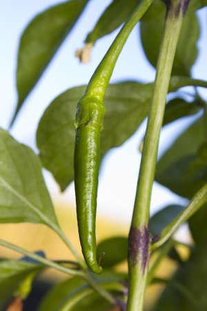 spicey: Spicey peperoncino peperoncino verde crescita e maturazione sulla pianta Archivio Fotografico