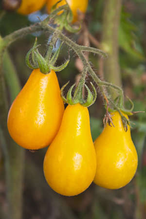 Small yellow pear heirloom tomato ripening on the vine or plant Stock Photo