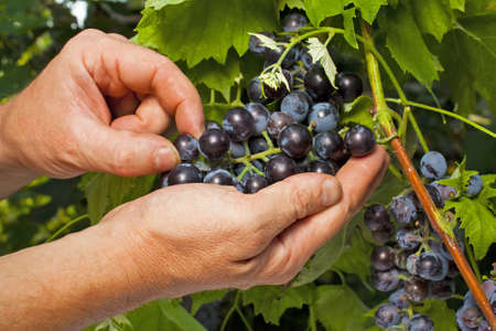 Close up of the hands of a vintner or grape farmer inspecting the cabernet sauvignon grape harvest