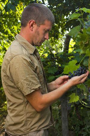 cabernet: Cultivador Vi�ador o uva inspeccionando la cosecha de uva sauvignon Cabernet Foto de archivo