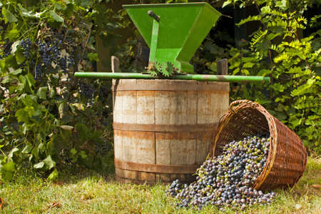 Freshly harvested wine grapes spilling from a whicker basket with a wine barrel and a vintage grape crusher Stock Photo