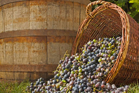 wine and grapes: Freshly harvested wine grapes spilling out of whicker basket with an old barrell backdrop