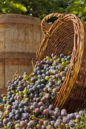 Freshly harvested wine grapes spilling out of whicker basket with an old barrell backdrop