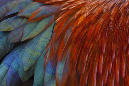 Brightly coloured feathers of a rooster as a background texture
