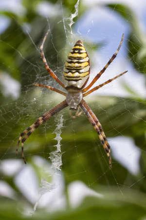 argiope: Female Wasp Spider or Argiope bruennichi sitting on her web