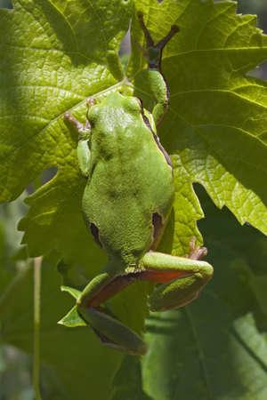 hyla: European Tree Frog or Hyla arborea climbing on a vine leaf Stock Photo