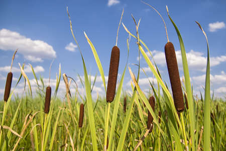 Bullrushes or cattails against a beautiful blue sky with clouds
