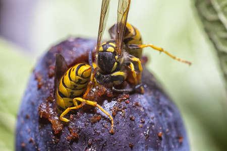 avispa: Avispas europeos de papel comer una fruta del ciruelo en primer plano
