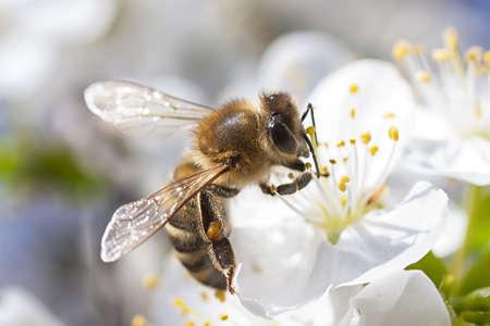 Honey Bee harvesting pollen from Cherry Blossom photo