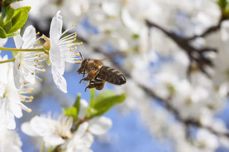 Honey bee in flight over cherry blossom flowers photo