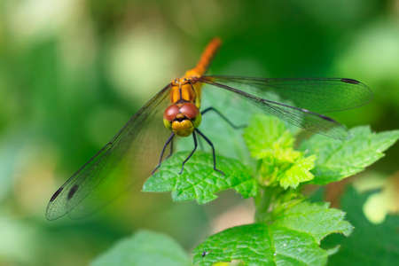 darter: A common darter Draginfly or Sympetrum striolatum against a vibrant green backdrop Stock Photo