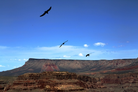 eagle canyon: Eagles circling in the skies over the Grand Canyon