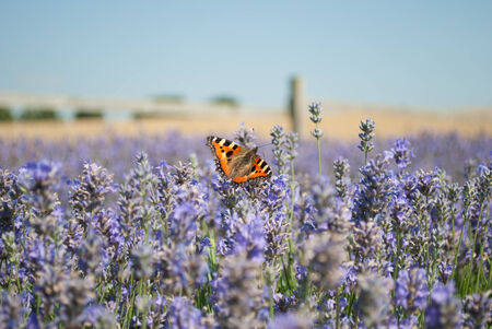 peacefulness: Butterfly in Lavender Field Stock Photo