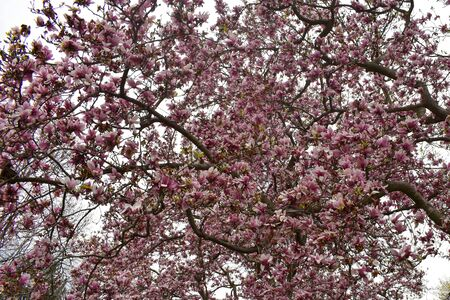 A Close up shot of a large tree with pink petals.