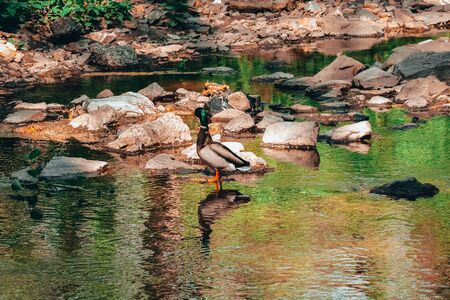 A Shot of a Duck Standing Over a Reflective Pool of Water Stock fotó