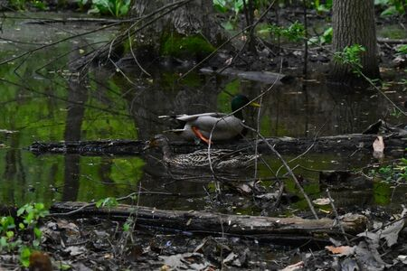 A photograph of a duck in a swamp where the image reflects off of the water Stock fotó