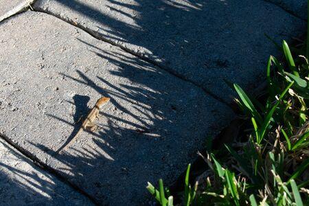 A Shot of a Small Gecko in Sunlight 版權商用圖片