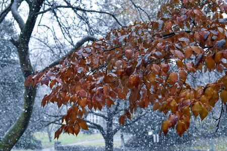 A Shot of an Orange Tree Branch During a Heavy Snowstorm