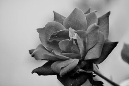 A close up photograph of a rose in black and white.