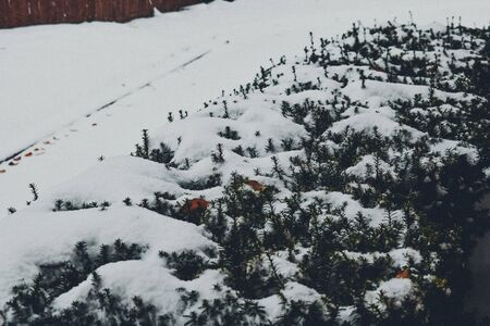 A Photograph of a Bush Covered in Snow