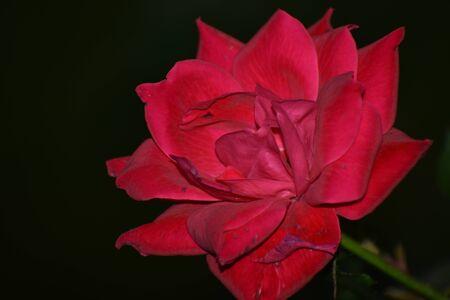 A Shot of a Rose in Pink Banco de Imagens