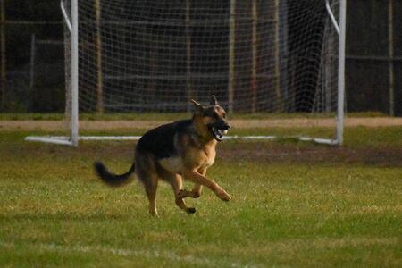 A Shot of a German Shepard Running Through a Soccer Field 免版税图像