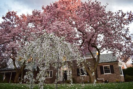 A Home With Two Pink Petal Trees Out Front, Reflecting the Sunset