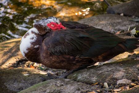 A Shot of A Large Muscovy Duck Stock Photo