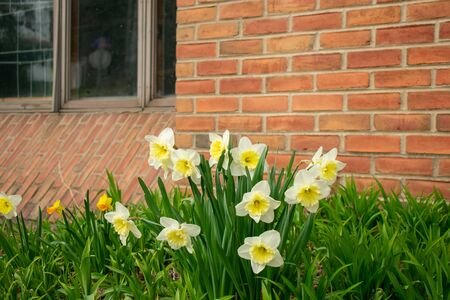 White and Yellow Tulips Against a Brick Wall