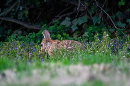 An Eastern Cottontail