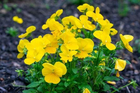 A Patch of Yellow Flowers in a Black Mulch Garden