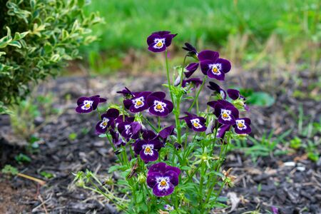 A Patch of Purple Flowers in a Black Mulch Garden on a Front Lawn