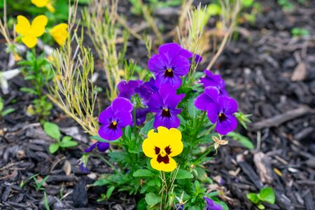 A Patch of Purple Flowers With a Single Yellow One in a Black Mulch Garden