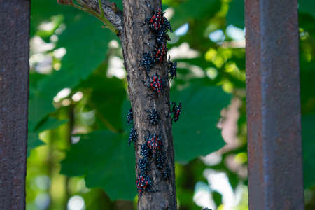 A Group of Red and Black Spotted Lanternfly Nymphs Resting on a Small Tree