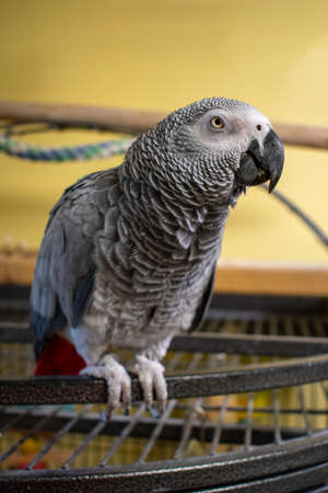 A Vertical Shot of an African Grey Parrot Resting On Top of Her Cage