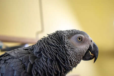 A close-up of an African Grey Parrot Looking off in the Distance on Top Her Cage