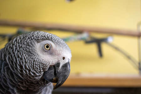 A Close up of an African Grey Parrot Looking at the Camera while on Top Her Cage
