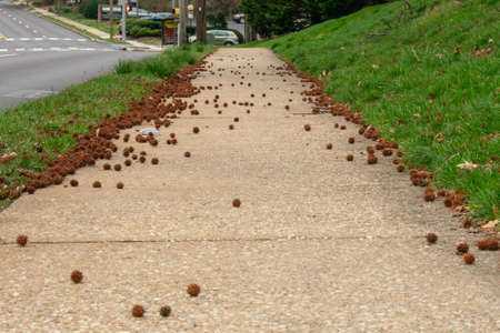 Spiked Seed Pods Littering the Tan Sidewalk in Suburban Pennsylvania
