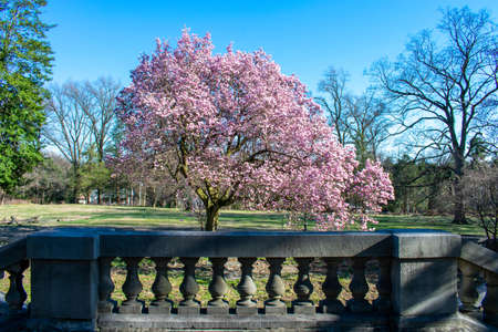 A Pink Cherry Blossom Tree Over a Concrete Railing at Elkins Estate