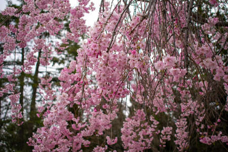 A Young Pink Cherry Blossom Tree on the Lawn of a Business in Suburban Pennsylvania
